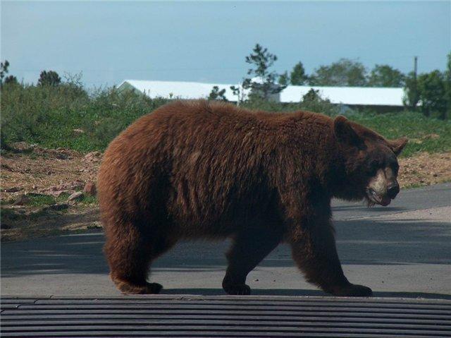 Медведь возрастом около 4 лет в